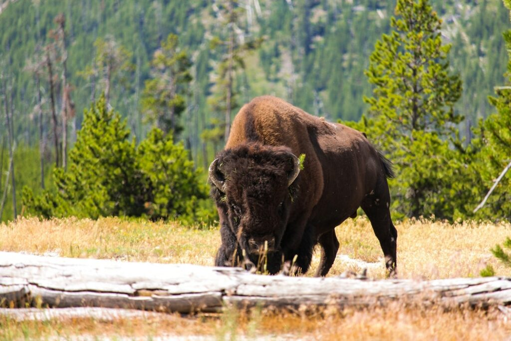 Wild Bison in Yellowstone National Park - North American Adventures