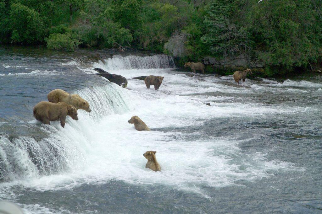 Kodiak Bears fishing for salmon at Brooks Falls in Katmai NP, Alaska
