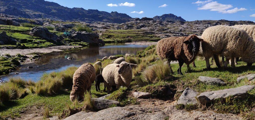 Sheep in Cordoba